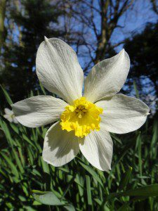 1 a 1 a Narcissus Albatross