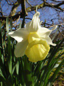 1 a 1 a Narcissus Mrs Ernst H Krelage