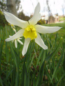 1 a 1 a Narcissus Mrs Langtry