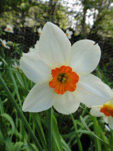 1 a 1 a Narcissus Pera