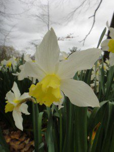 1 a 1 a Narcissus Southern Gem