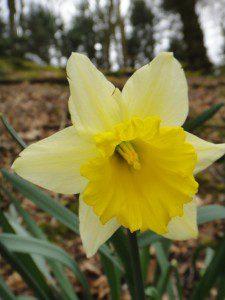 1 a 1 a Narcissus Van Waverens Giant