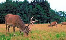 Lowland Deer Expert Panel Appointed
