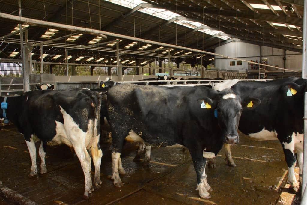 Reducing Lameness In Dairy Cows