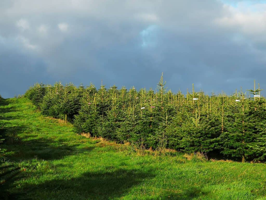 GET REAL THIS CHRISTMAS WITH A LOCALLY GROWN TREE FROM