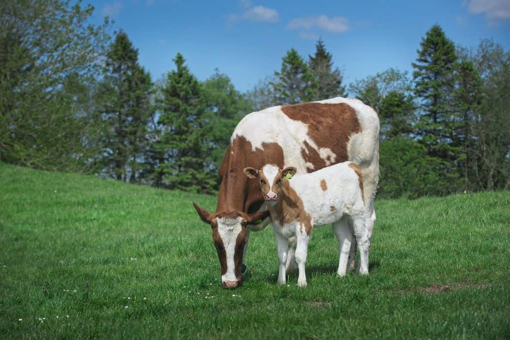 Cow with Calf dairy farming System