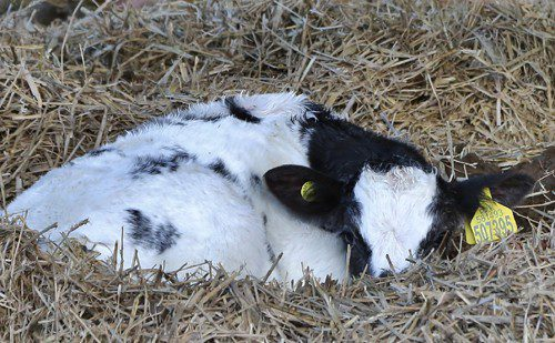 Low magnesium levels are associated with slow calvings