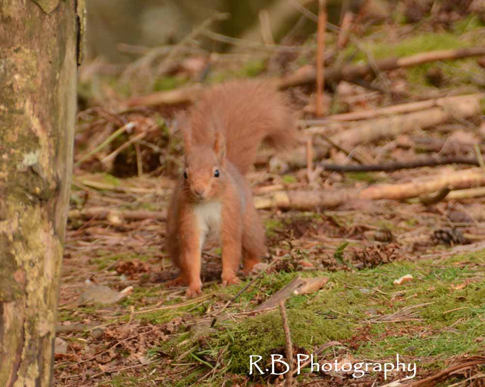Scotland's red squirrel populations remain stable in latest survey report