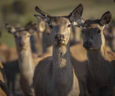 UK retail venison market increases in value by almost 11% during 2019 latest research from Scottish Venison shows