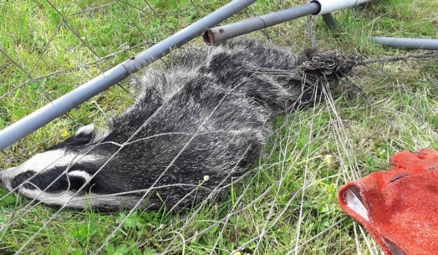 The Scottish SPCA recently rescued a badger which had become trapped in a football net.
