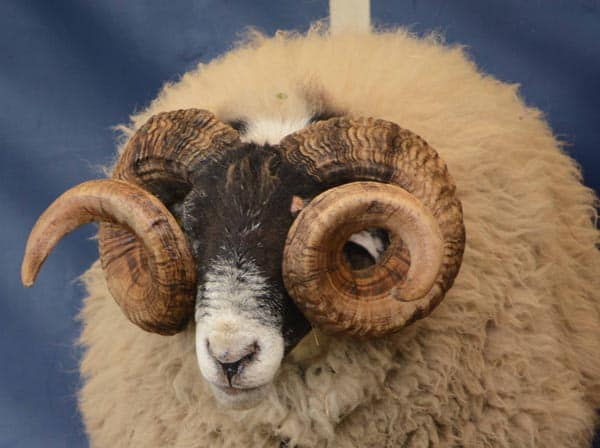 New sheep monitoring schemes aim to reduce risk of disease