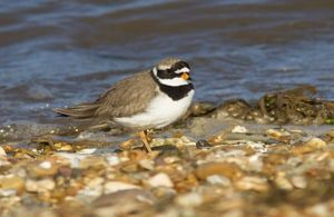 125,000 seabirds to benefit from expansion of Solway Firth protected site