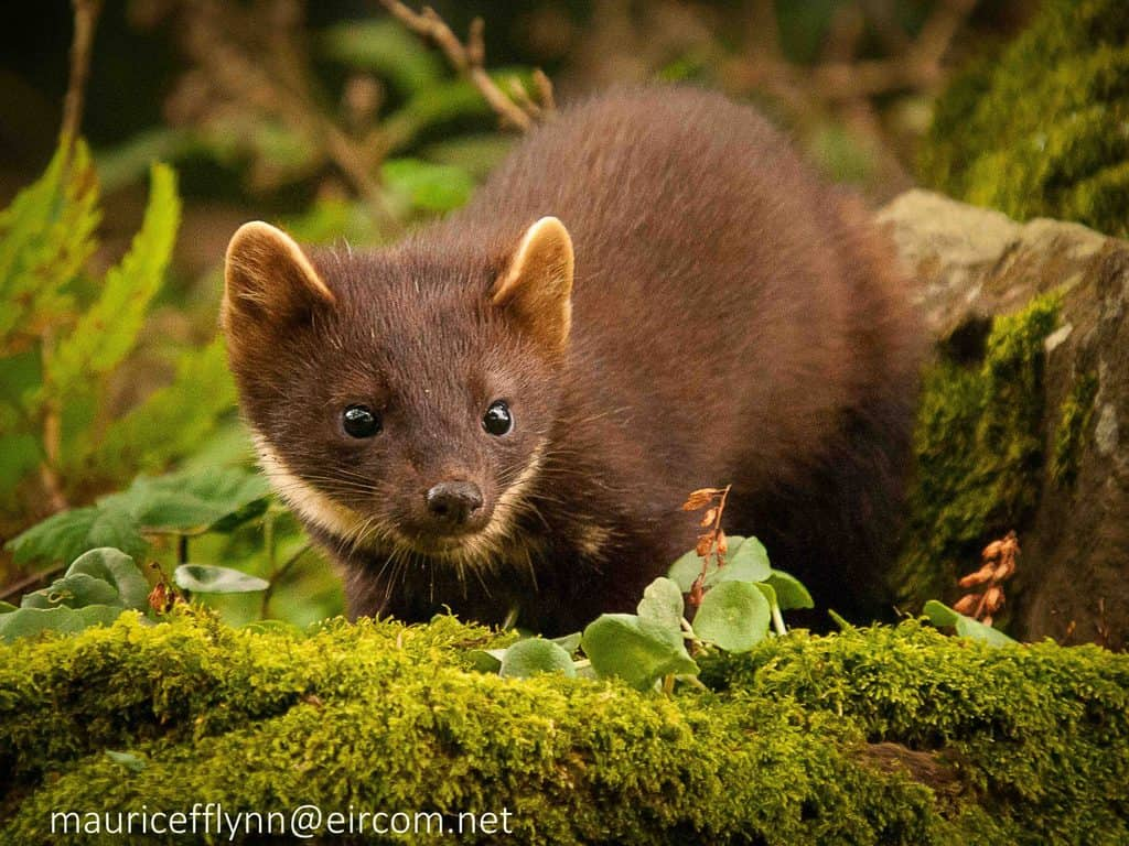 Online Event - Red Squirrels: Help from a Predator?