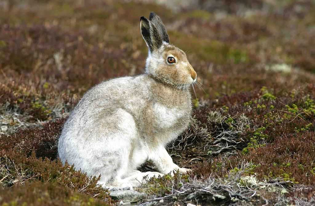 COULD LANGHOLM SEE RETURN OF LOST MOUNTAIN HARES?