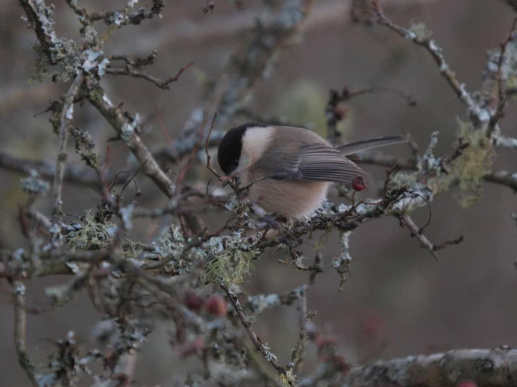 Wet Woodlands & Willow Tits – Why Scruffy woods are best