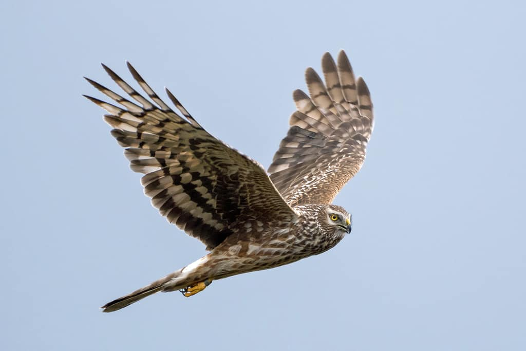 Eyes to the skies for returning hen harriers
