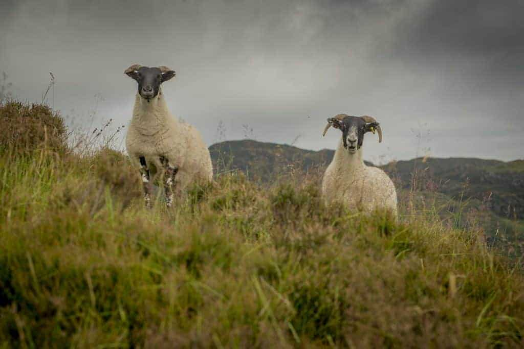 UPLAND SHEEP SCHEME PAYMENTS TO START