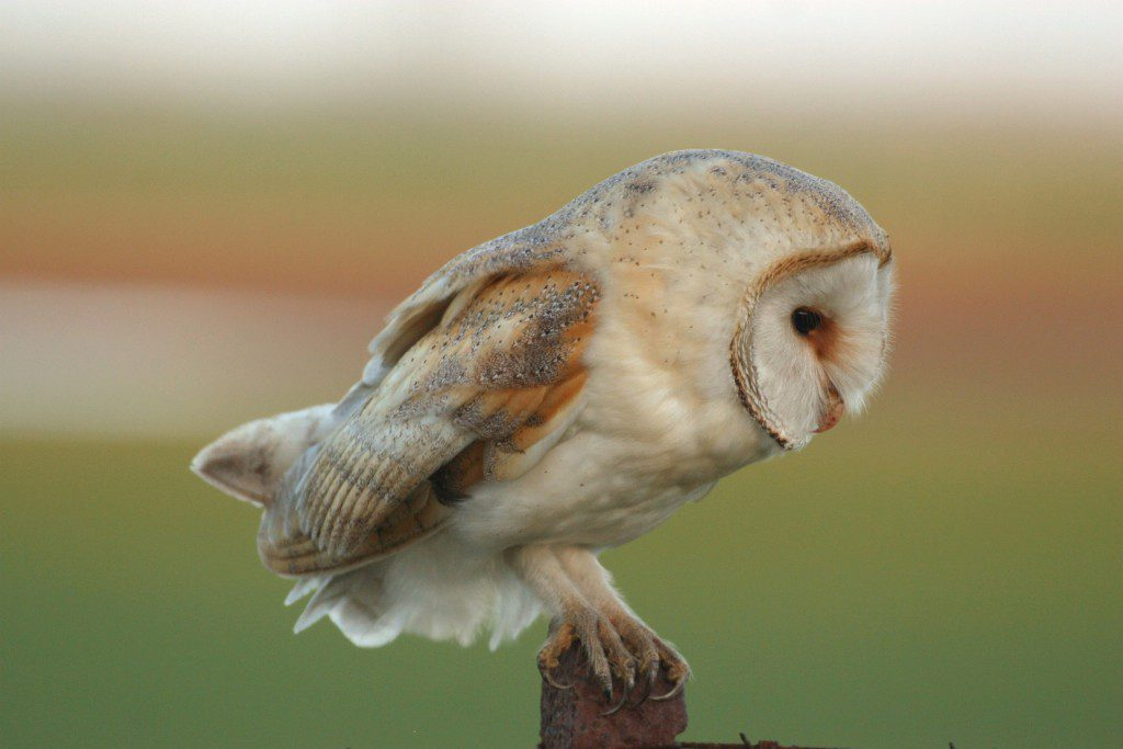 Helping Barn Owls in the Galloway Glens area