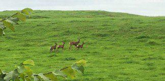 Deer numbers placing unprecedented pressure on environment