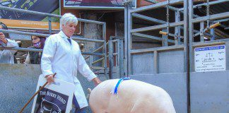 600GNS FOR TOP PRICED PIG AT DUMFRIES MART