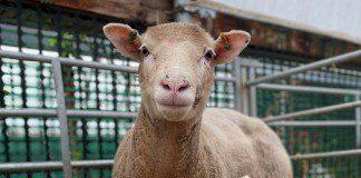Barony Farm springs to life with autumn lambs